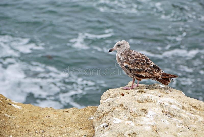 Brun seagull arkivfoton