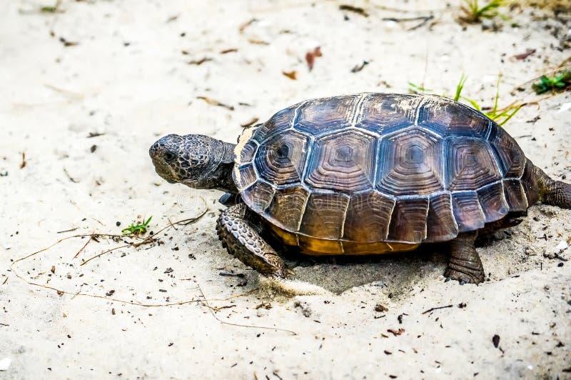 brun sköldpadda för gophermichael foto r royaltyfri foto