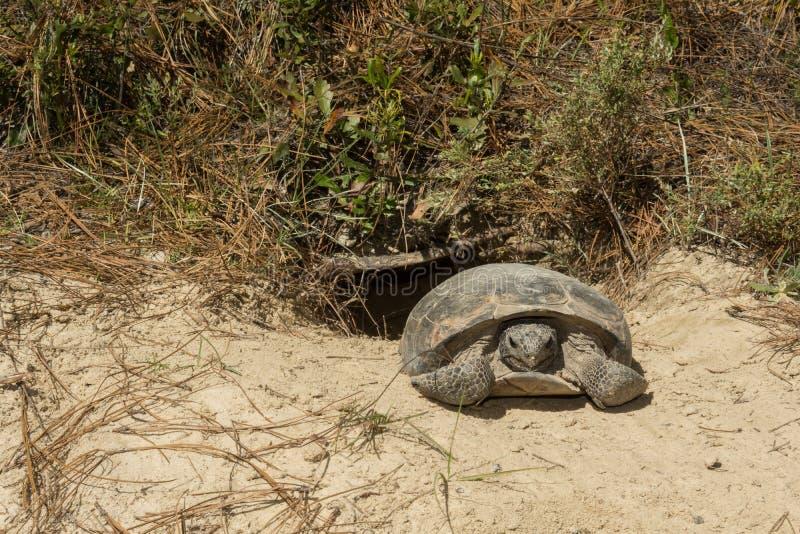 brun sköldpadda för gophermichael foto r arkivfoton