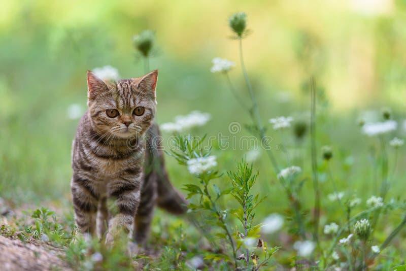 Brun skotsk rak katt royaltyfri bild