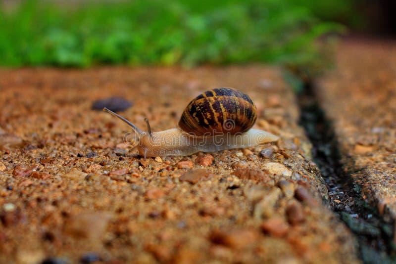 Brun snigel som promenerar betong fotografering för bildbyråer