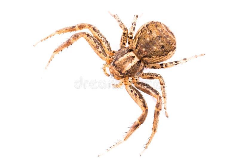 Brun spindel från överkant arkivfoton