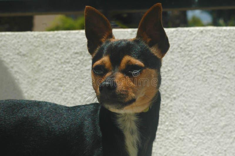 Brun svartvit slät kort haired Chihuahua arkivbild
