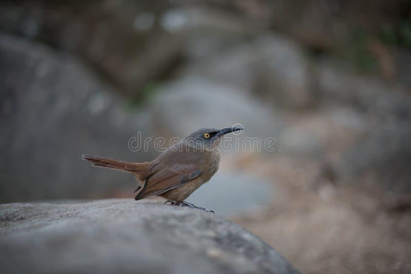 Brun tremblerfågel på en vaggaCinclocerthia ruficauda royaltyfria bilder