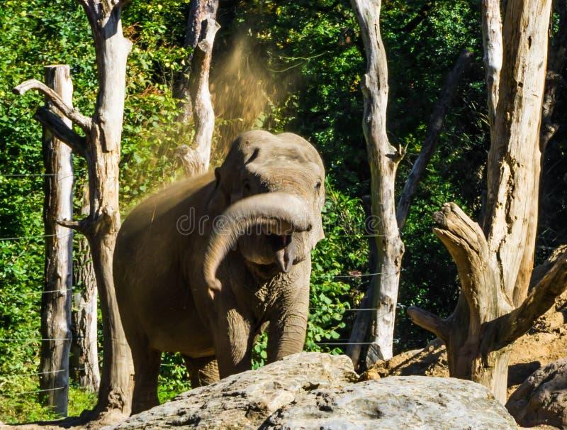 Brun ung afrikansk elefant som kastar sand med hans stam och skapar ett skämtsamt djurt uppförande för sanddusch arkivbild