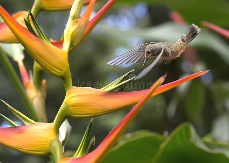 Brun Violetear kolibri, Colibri delphinae royaltyfria foton