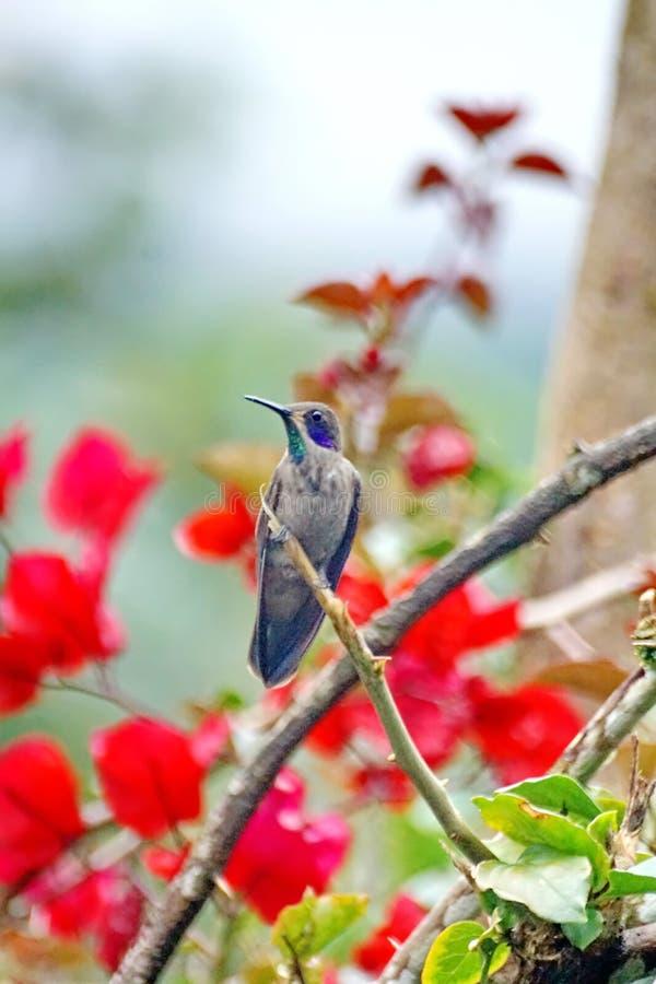 Brun violetear kolibri i en bougainvilleabuske royaltyfri fotografi