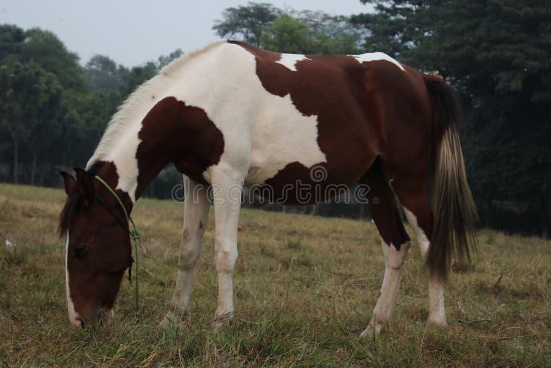 Brun vit häst i öppet gräsfält som äter gräs royaltyfri foto