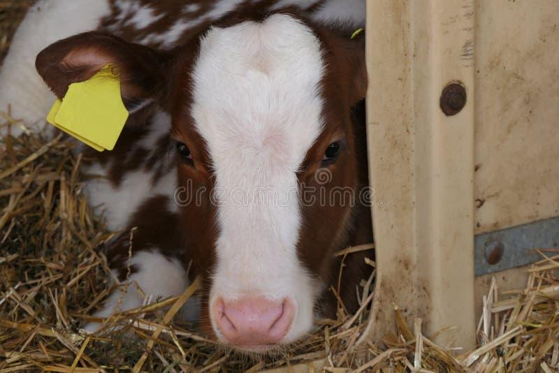 Brun vit kalv som lägger i stall royaltyfria bilder