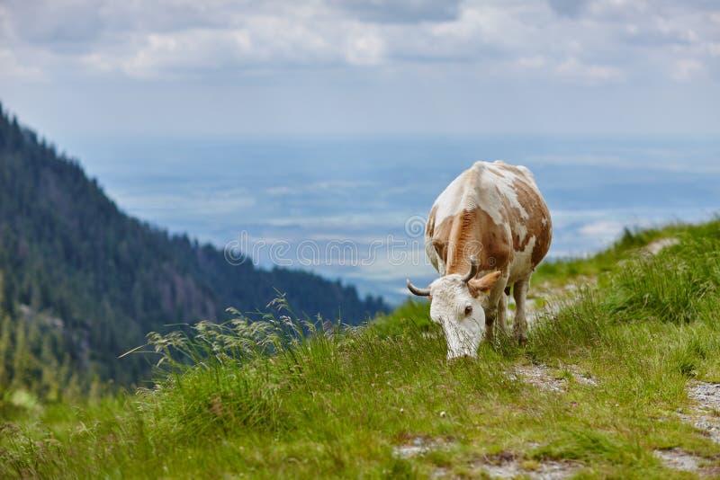 Brun-vit ko som äter gräs i ängen fotografering för bildbyråer