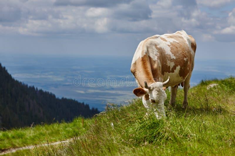 Brun-vit ko som äter gräs i ängen royaltyfria foton