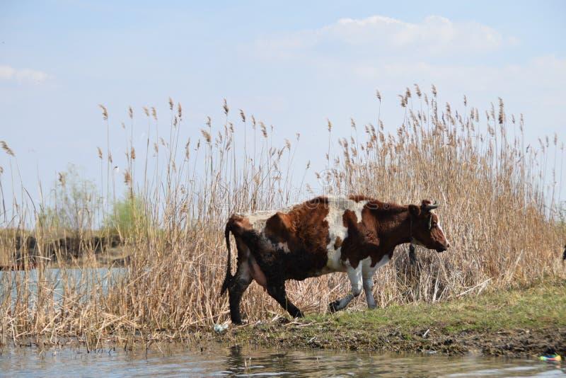 Brun vit ko som lämnar det bevattna hålet arkivbild