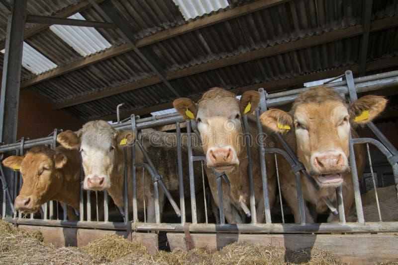 Kor matar in ett stall royaltyfria bilder