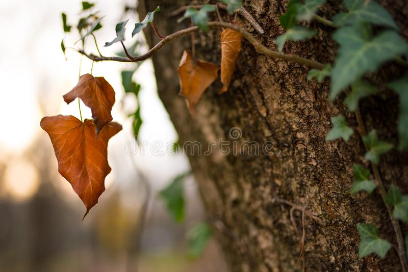 Bruna Autumn Leaf royaltyfria bilder