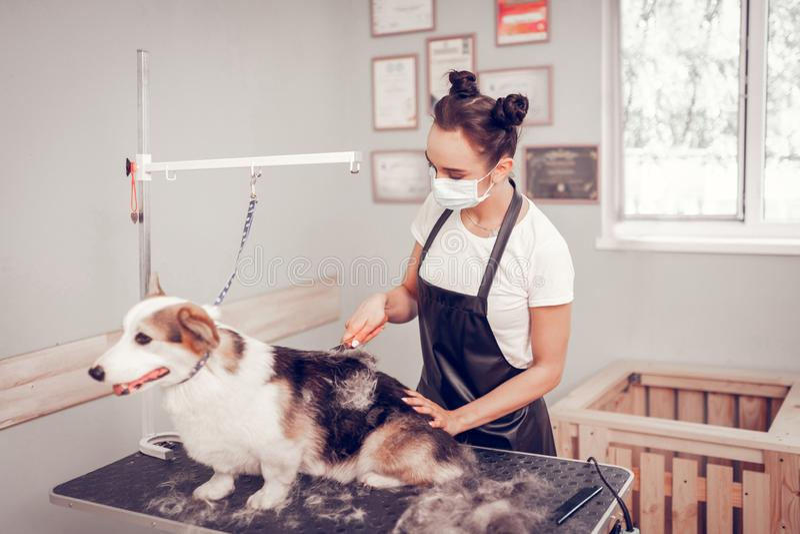 Bruna con due panini dei peli che governa cane fotografie stock
