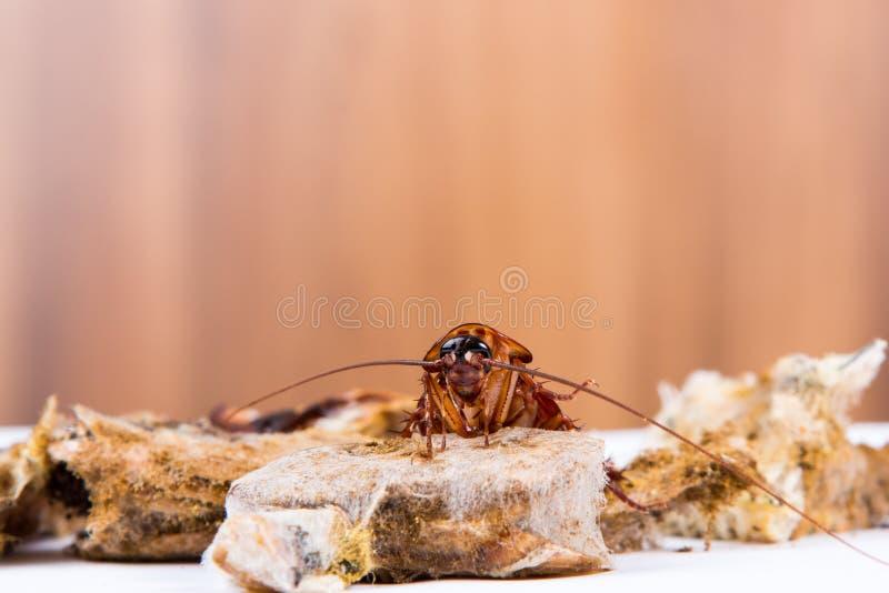 Bruna Cookroach arkivbilder