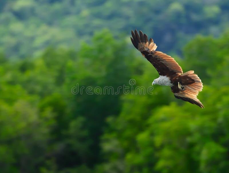 Bruna Eagle arkivbild