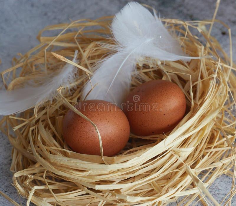 Bruna fega ägg med vita fjädrar i hörede på ljus betong closeup av lantgårdägg horisontalsikt av rå fega ägg royaltyfria foton