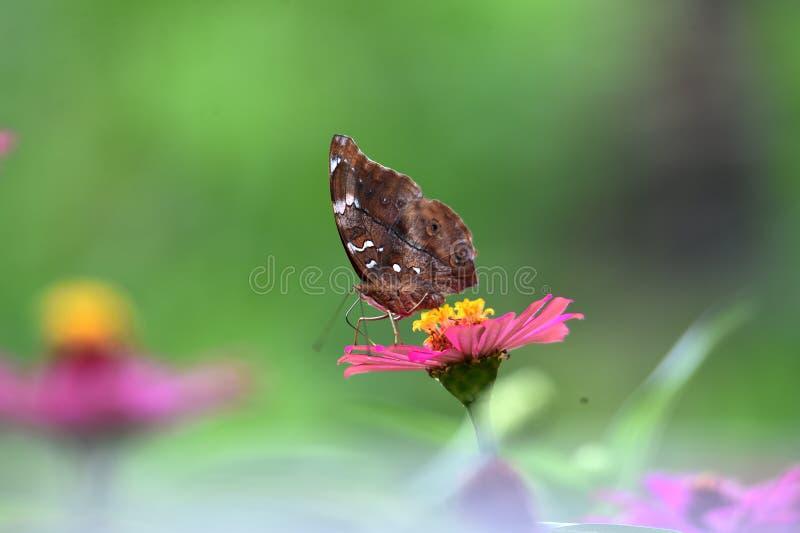 Bruna fjärilar med svarta linjer på vingarna arkivfoto