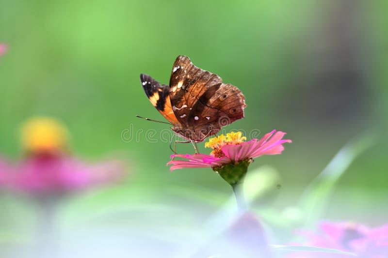 Bruna fjärilar med svarta linjer på vingarna royaltyfri bild