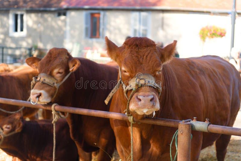 Bruna franska Limousin kor på marknad royaltyfria foton