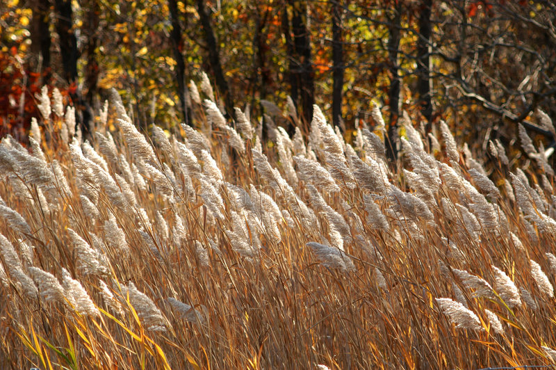 Bruna gräs
