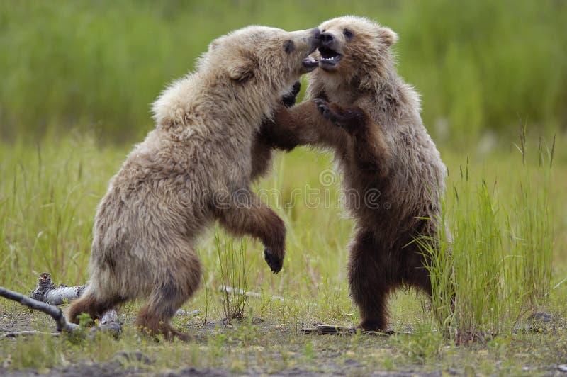 bruna gröngölingar för björn som leker två royaltyfri foto