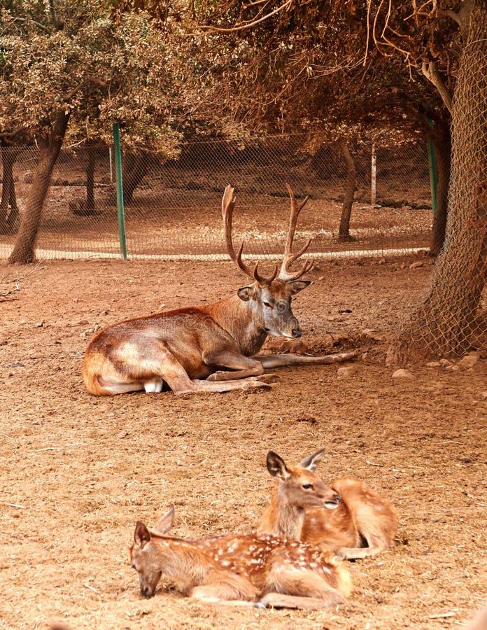 Bruna hjortar med stora branchy horn royaltyfria foton