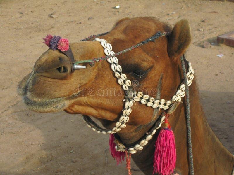 Bruna kamels framsida royaltyfri bild