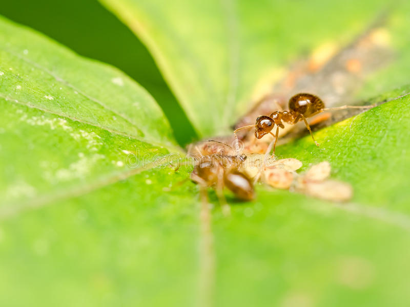 Bruna myror som matar på honungsdagg arkivbild