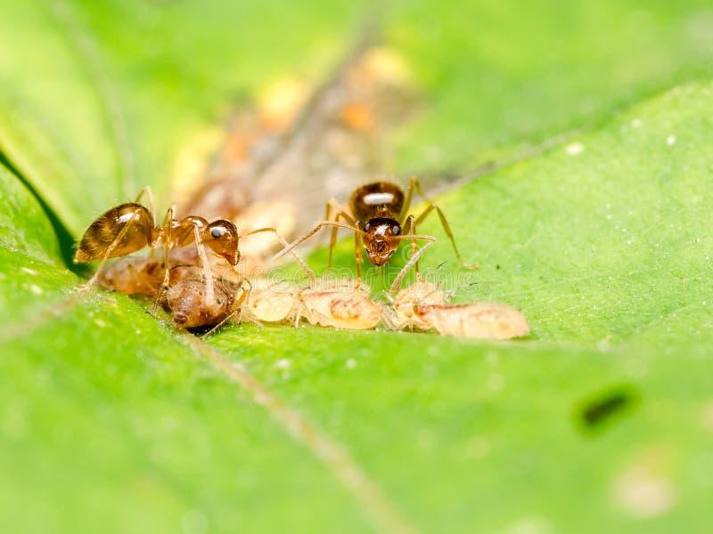 Bruna myror som matar på honungsdagg arkivbilder