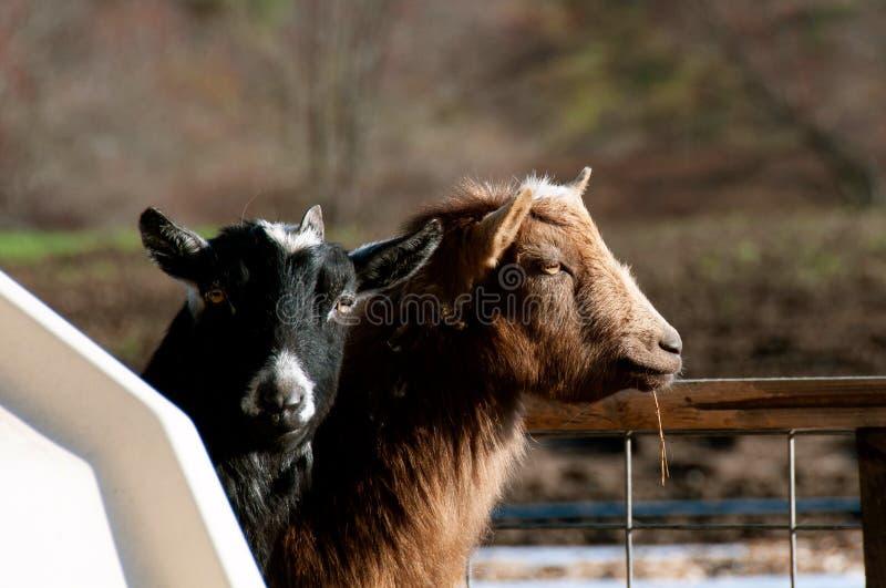 Bruna och svarta Billy Goats i en penna royaltyfri fotografi