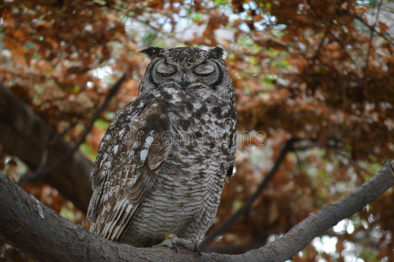 Bruna Owl Sleeping arkivbild