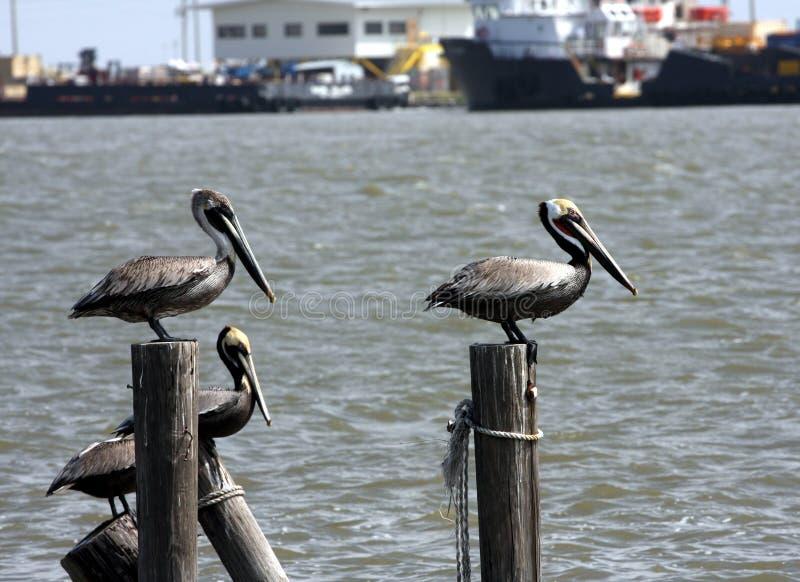 bruna pelikan fotografering för bildbyråer