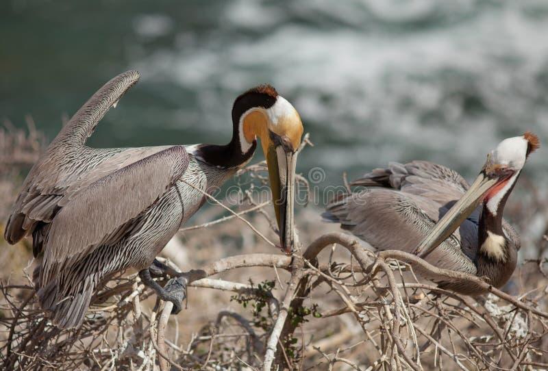 Bruna pelikan--Bygga bo säsong royaltyfria bilder