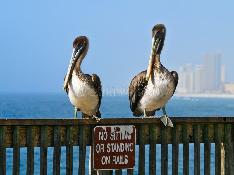 Bruna pelikan, pelecanusoccidentalis, två fåglar på räcket royaltyfri foto
