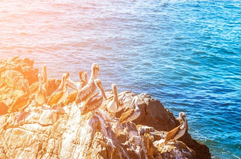 Bruna pelikan som sitter på vagga med havsbakgrund fotografering för bildbyråer