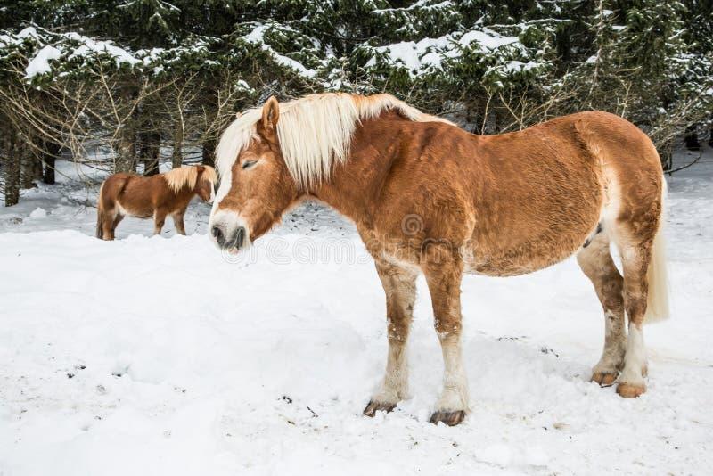 Bruna ponnyer i snöig Jura Pine Trees Forest i vinter arkivbilder
