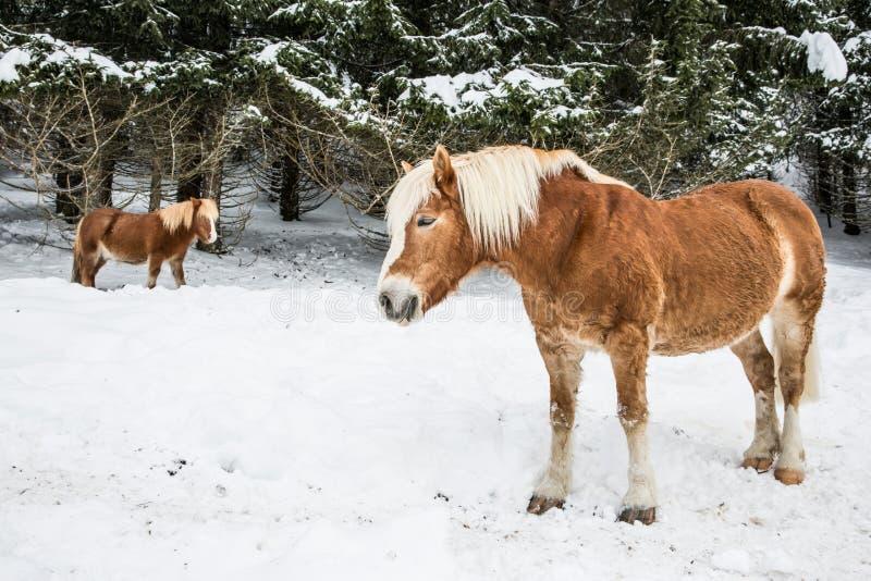 Bruna ponnyer i snöig Jura Pine Trees Forest i vinter arkivfoto