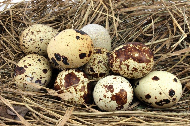 Bruna spräckliga ägg arkivbild