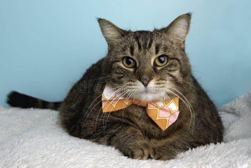 Bruna Tabby Cat Portrait, i studio och att bära en fluga arkivfoto