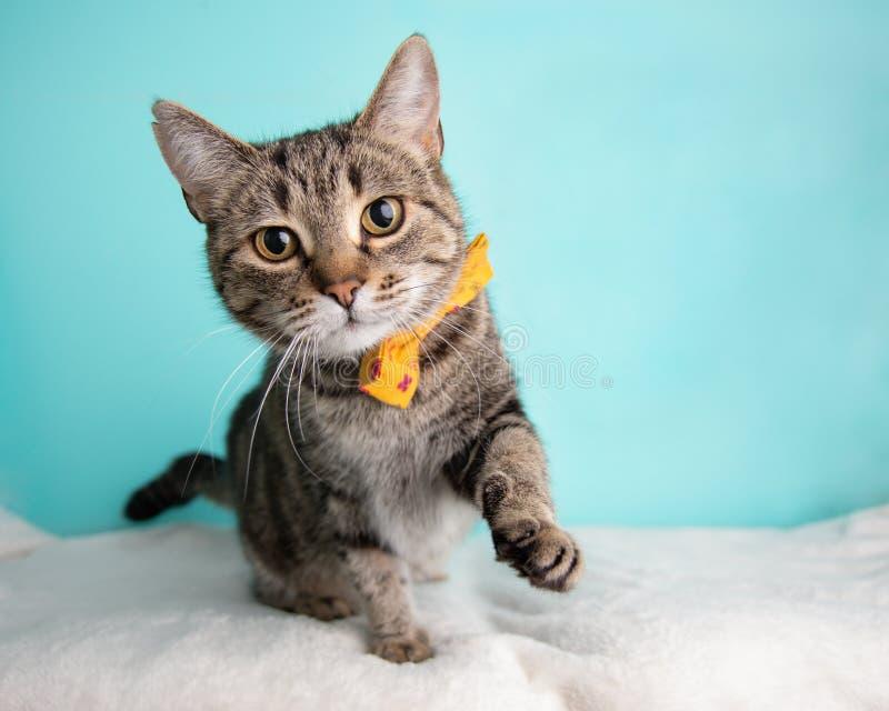 Bruna Tabby Cat Portrait, i studio och att bära en fluga arkivbild