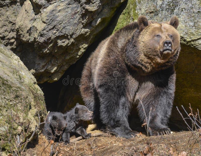 Brunbjörn arkivbild