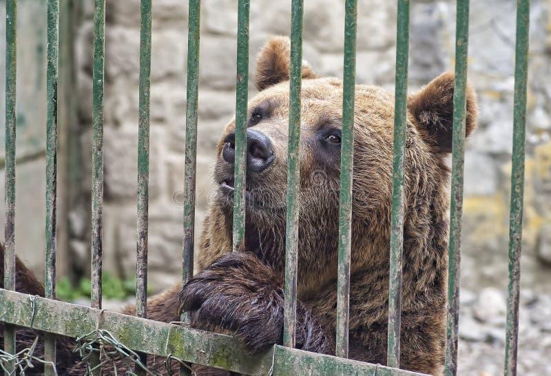 Brunbjörn bak stänger royaltyfri bild