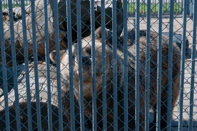 Brunbjörn bak stänger på zoo arkivfoto