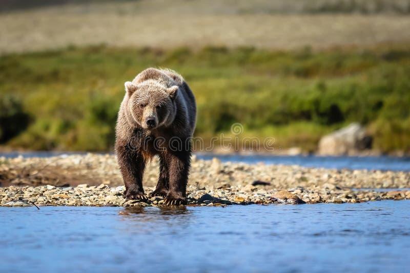 Brunbjörn i den Katmai nationalparken royaltyfri foto