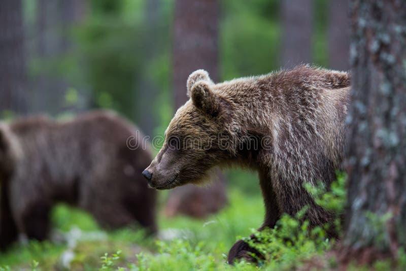 Brunbjörn i finlandssvensk skog fotografering för bildbyråer
