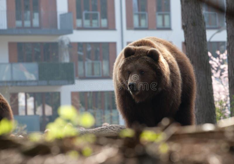 Brunbjörn i staden arkivbilder