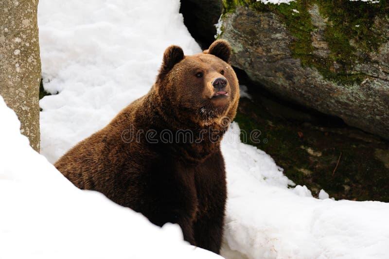 Brunbjörn i vintern royaltyfri foto