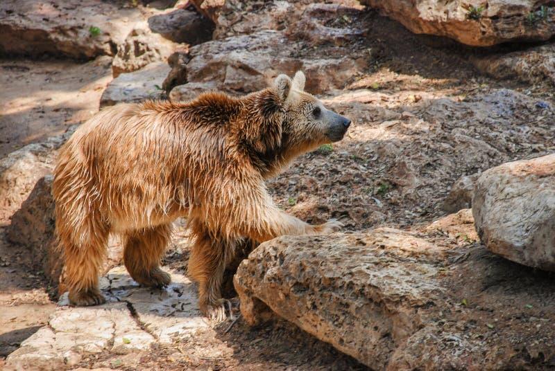 Brunbjörn i zoo på den soliga dagen arkivfoto